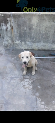 lab male for sale