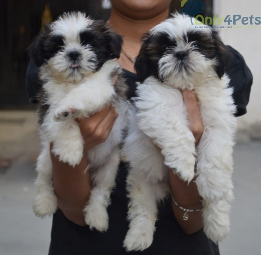 Purebred Shih Tzu Puppies Available For Sale