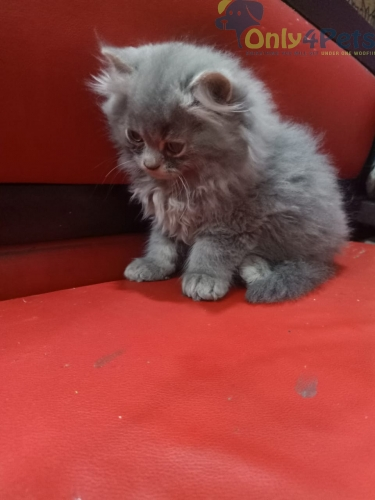 Persian Kitten For Sale Allllll Colours  Available nd Adults Cats Are Available