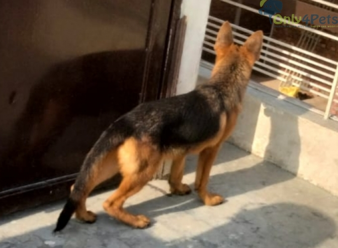 Show quality Gsd male 4 month