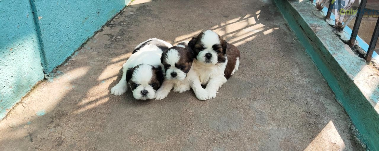 Good quality ..... with good marking.. shihtzu..3..male...1..female puppies.... available for sale