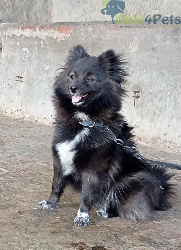 Culture pom ✅Female ✅Age : 14 month