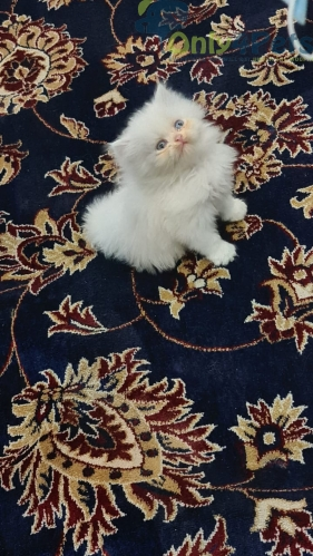 Kitten for sale Blue Eyes red and white white kitten for sale